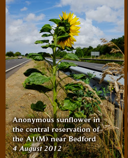 Anonymous sunflower in the central reservation of  the A1(M) near Bedford 4 August 2012