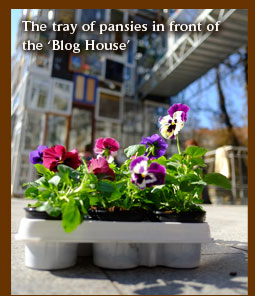 The tray of pansies in front of the Blog House