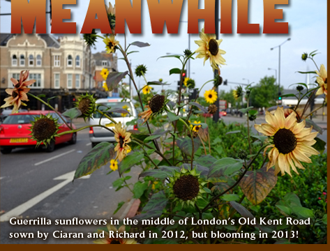 Guerrilla sunflowers in the middle of London's Old Kent Road sown by Ciaran and Richard in 2012 but blooming in 2013!